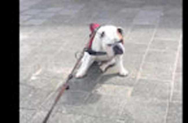Bulldog refuses to complete walk for hilarious reason