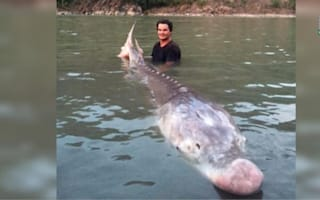 Fisherman catches legendary 10ft-long Pig Nose fish in Canada