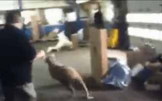 That's baaaa-rmy: Sheep causes havoc at car workshop
