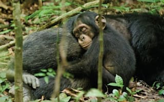 Amazing pics show orphaned chimp taken in by new dad in rare footage