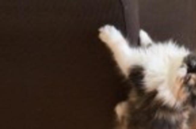 Kitten does her best 'King Kong' impression