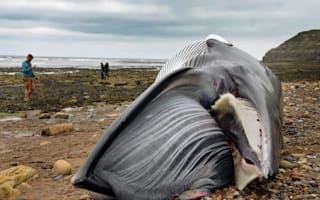 Dead minke whale washes up on Scarborough beach