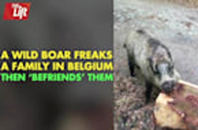 A Wild Boar Encounter You Won't Believe