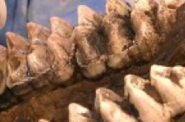 Mastodon skeleton unearthed