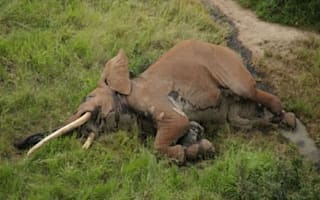 Poachers kill one of Africa's oldest elephants