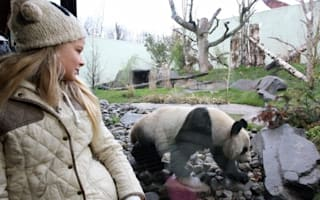 Edinburgh Zoo's new pandas melt hearts as they go on public display