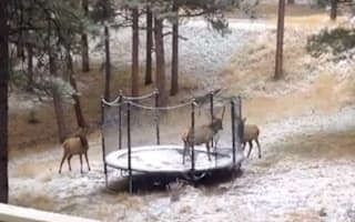 Video: Baby elk gets stuck on a trampoline