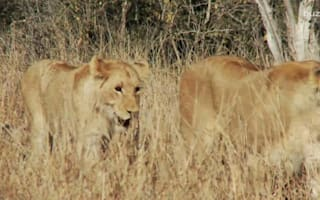 Lions sentenced to life in a zoo for 'murder'