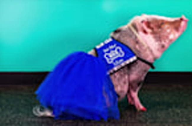 Pigs Really Can Fly as San Francisco Airport Welcomes First Therapy Pig
