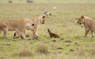 Brave mongoose fights off FOUR lions (video)