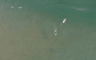 Huge great white shark pictured swimming next to surfers