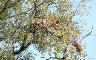 Baby monkey escapes becoming leopard lunch by a whisker (amazing photos)