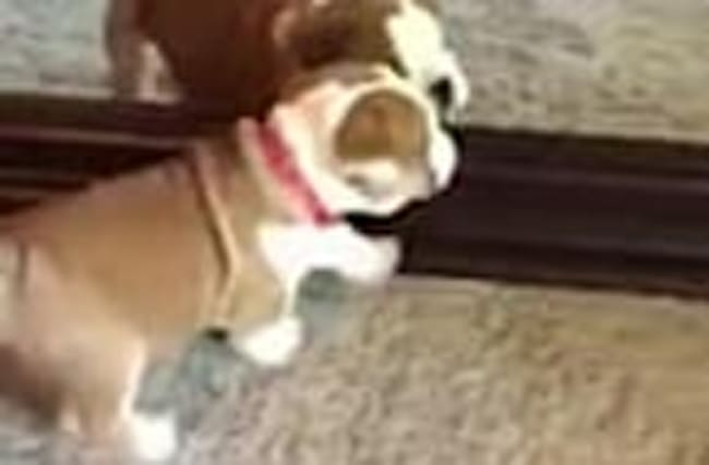 Puppy thoroughly confused by reflection in mirror