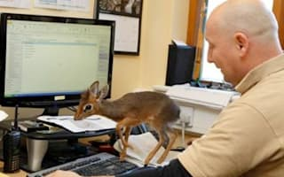 Cute alert! Tiny baby antelope being hand-reared at Chester Zoo