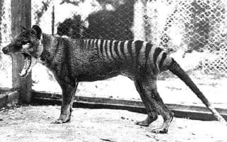 Tasmanian tiger 'sightings' spark search in Queensland