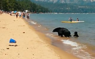 Tourists shocked as bear and two cubs play in sea at beach