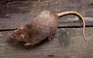 Flooding brings mutant rats into homes