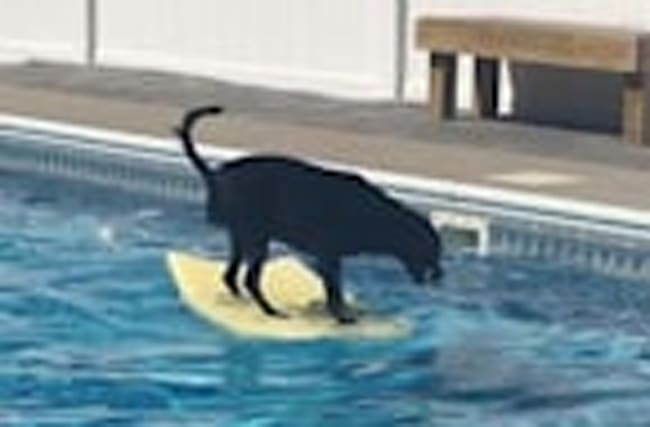 Dog balances on bodyboard to fetch ball in pool