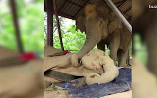 Elephant never leaves the side of her dying friend