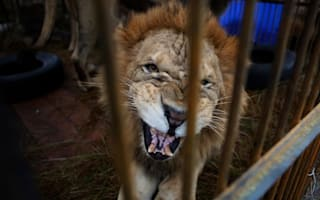 Terror in crowd as lion escapes during circus performance in Macedonia