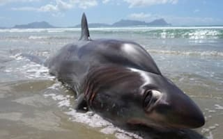 Tourist finds rare shark with enormous eyes in New Zealand