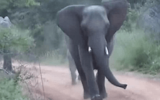 Mother elephant and calf charge safari car in 'cutest attack ever'