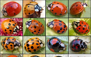 Deadly ladybirds invade Britain from US