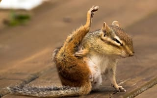 Is that a chipmunk practising yoga?