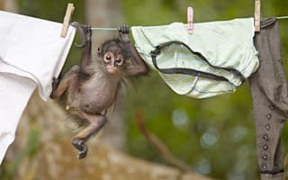 Adorable baby monkey hangs out with the washing