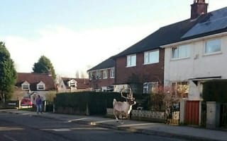 Escaped reindeer brings Nottingham streets to a standstill