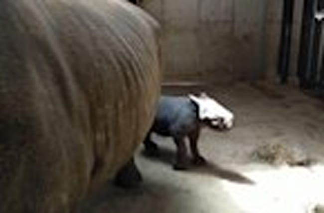 Meet Adorable Baby Rhino