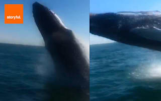 Humpback whale flies through air right next to boat