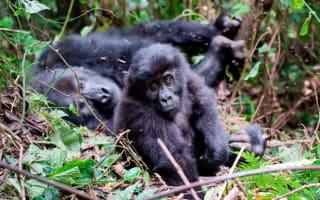 Gorillas massacred for the sake of our mobile phones