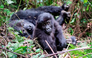 Gorillas massacred for the sake of our mobile phones
