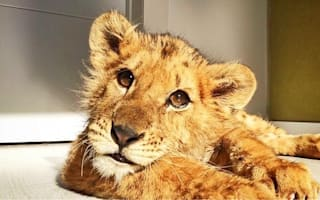 Abused circus lion gets second chance