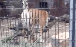 Tiger sprays family with urine at zoo (video)
