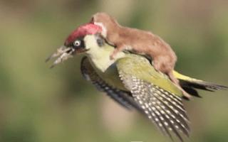 Weasel takes flight on woodpecker's back