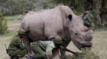 Este rinoceronte blanco busca pareja en Tinder porque es el último que queda en el planeta