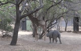 Baby rhino learns why annoying a giraffe is not a good idea (video)