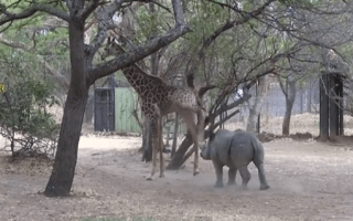 Baby rhino learns why annoying a giraffe is not a good idea (video)