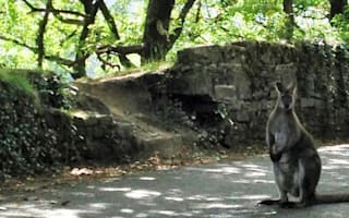 Wallaby on the loose in Gloucestershire