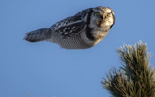 'Torpedo' owl spotted in Finland