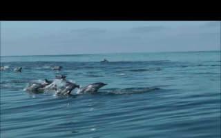 School of dolphins swim alongside tourist boat