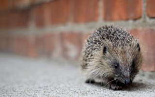 Hedgehog officer job sparks global interest