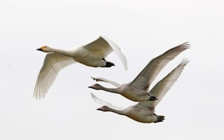 Berwick swans finally arrive heralding the latest start to winter since 1969