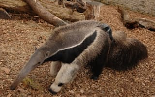 Hold on tight! Baby anteater hitches ride on mum after surprising visitors