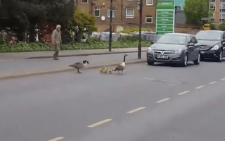 Hilarious video raises the question why did these geese cross the road?