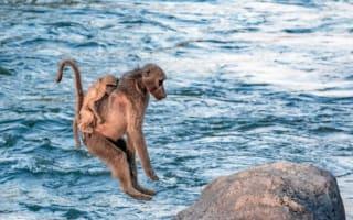 Baboons piggyback babies across river