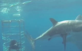 Huge great white shark bites another on the head (video)
