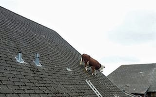 Cow spotted on roof in Swiss Alps (picture)